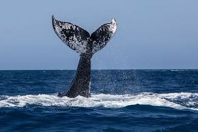 whale tail above water